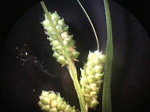Carex caroliniana - Joey Shaw