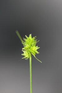 Carex cephalophora - Dwayne Estes