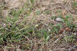 Carex cherokeensis - Ashley B. Morris