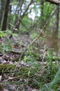 Carex cherokeensis - Dwayne Estes