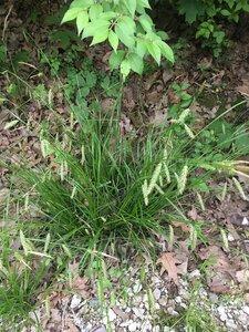 Carex cherokeensis - Joey Shaw