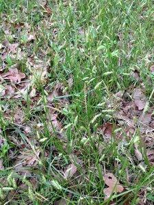 Carex cherokeensis - Milo Pyne