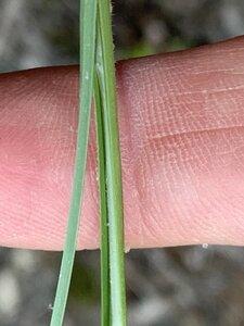 Carex complanata - Dwayne Estes