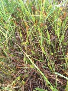 Carex crawei - Milo Pyne