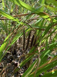 Carex crinita var. brevicrinis - Shawn Krosnick