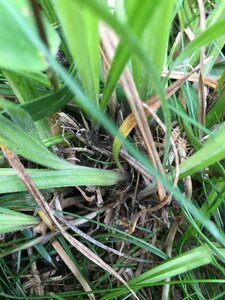 Carex debilis - Joey Shaw