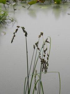 Carex decomposita - Dwayne Estes