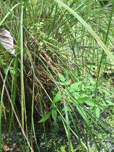 Carex decomposita - Tara Littlefield