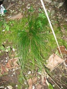 Carex eburnea - Tara Littlefield