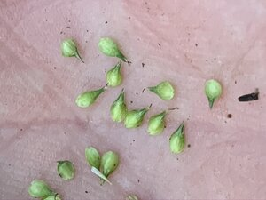 Carex festucacea - Dwayne Estes