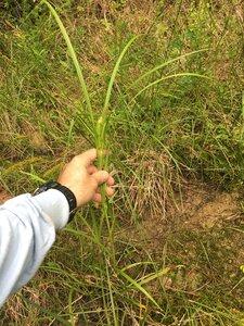 Carex frankii - Joey Shaw