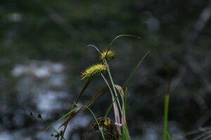 Carex frankii - Sunny Fleming