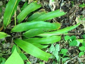 Carex fraseriana - Milo Pyne