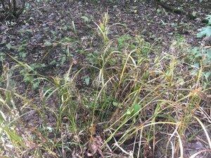 Carex gigantea - Theo Witsell