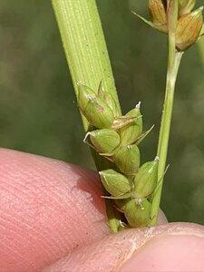 Carex grisea - Dwayne Estes