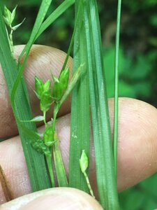 Carex grisea - Joey Shaw