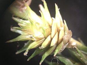 Carex hyalina - Joey Shaw