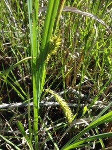 Carex hyalinolepis - Milo Pyne