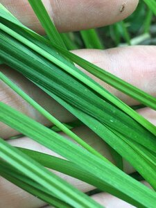 Carex intumescens - Joey Shaw