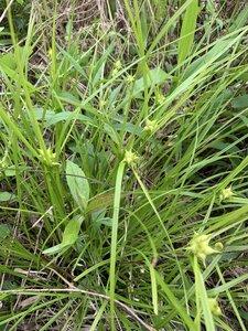 Carex intumescens var. intumescens - Dwayne Estes