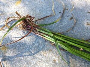 Carex intumescens var. intumescens - Milo Pyne