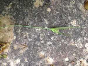 Carex jamesii - Milo Pyne