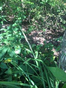 Carex joorii - Theo Witsell