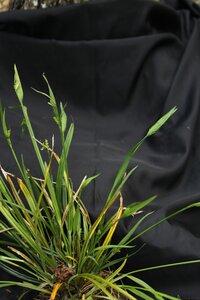 Carex kraliana - Dwayne Estes