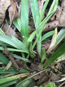 Carex kraliana - Joey Shaw