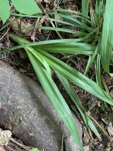 Carex laxiflora - Dwayne Estes