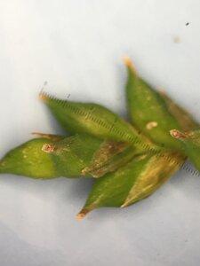 Carex laxiflora - Joey Shaw