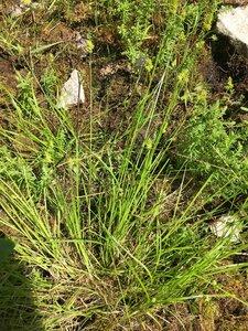 Carex leavenworthii - Dwayne Estes