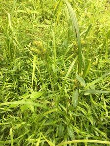 Carex lupulina - Joey Shaw