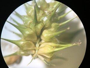 Carex lurida - Joey Shaw
