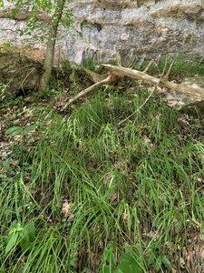 Carex ouachitana - Dwayne Estes