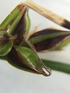 Carex pensylvanica - Joey Shaw