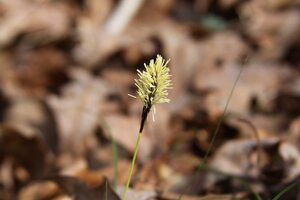 Carex picta - Dwayne Estes