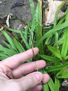 Carex plantaginea - Joey Shaw