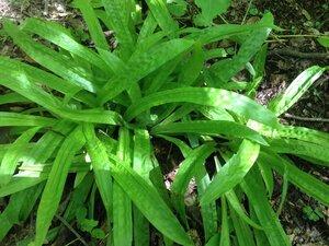 Carex plantaginea - Milo Pyne