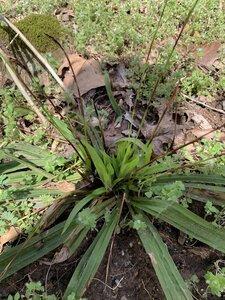 Carex plantaginea - Shawn Krosnick