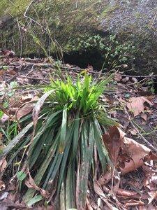 Carex plantaginea - Tara Littlefield