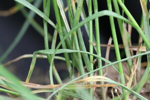 Carex radiata - Dwayne Estes
