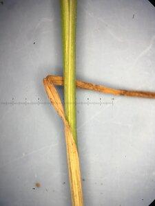 Carex retroflexa - Joey Shaw