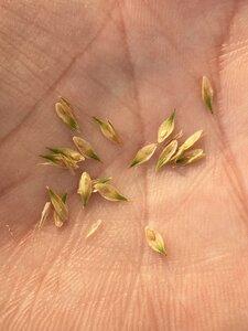 Carex scoparia - Dwayne Estes
