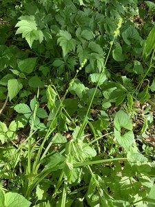 Carex sparganioides - Dwayne Estes