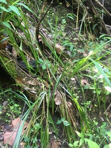 Carex sparganioides - Theo Witsell