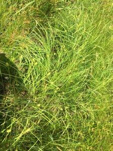 Carex squarrosa - Dwayne Estes