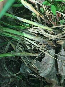 Carex squarrosa - Joey Shaw