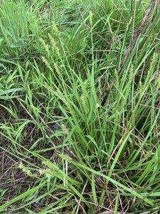 Carex stipata var. stipata - Dwayne Estes