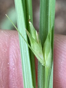 Carex superata - Dwayne Estes